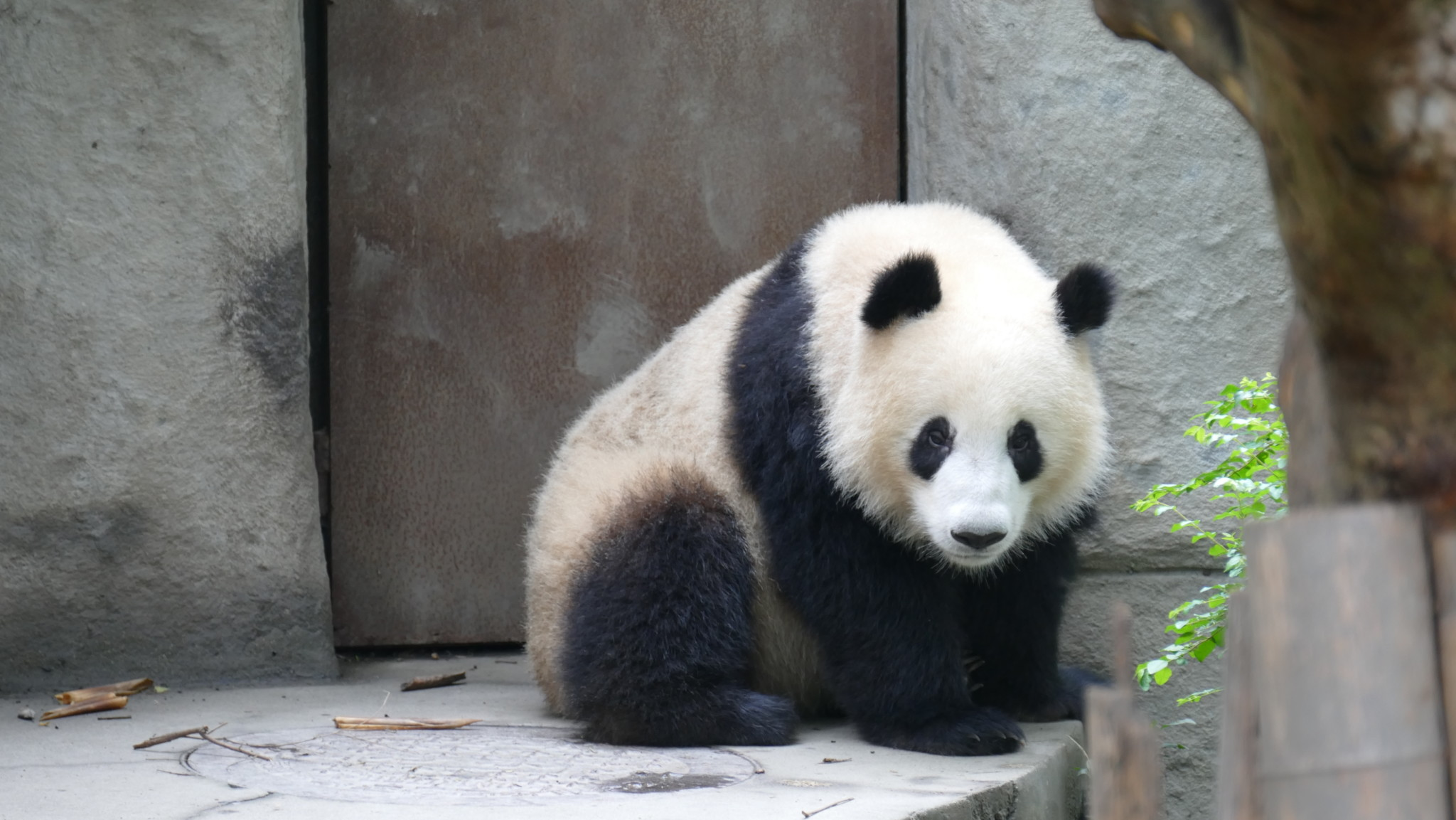 Video - Impressionen Panda Base Chengdu 4K 26.09.2015
