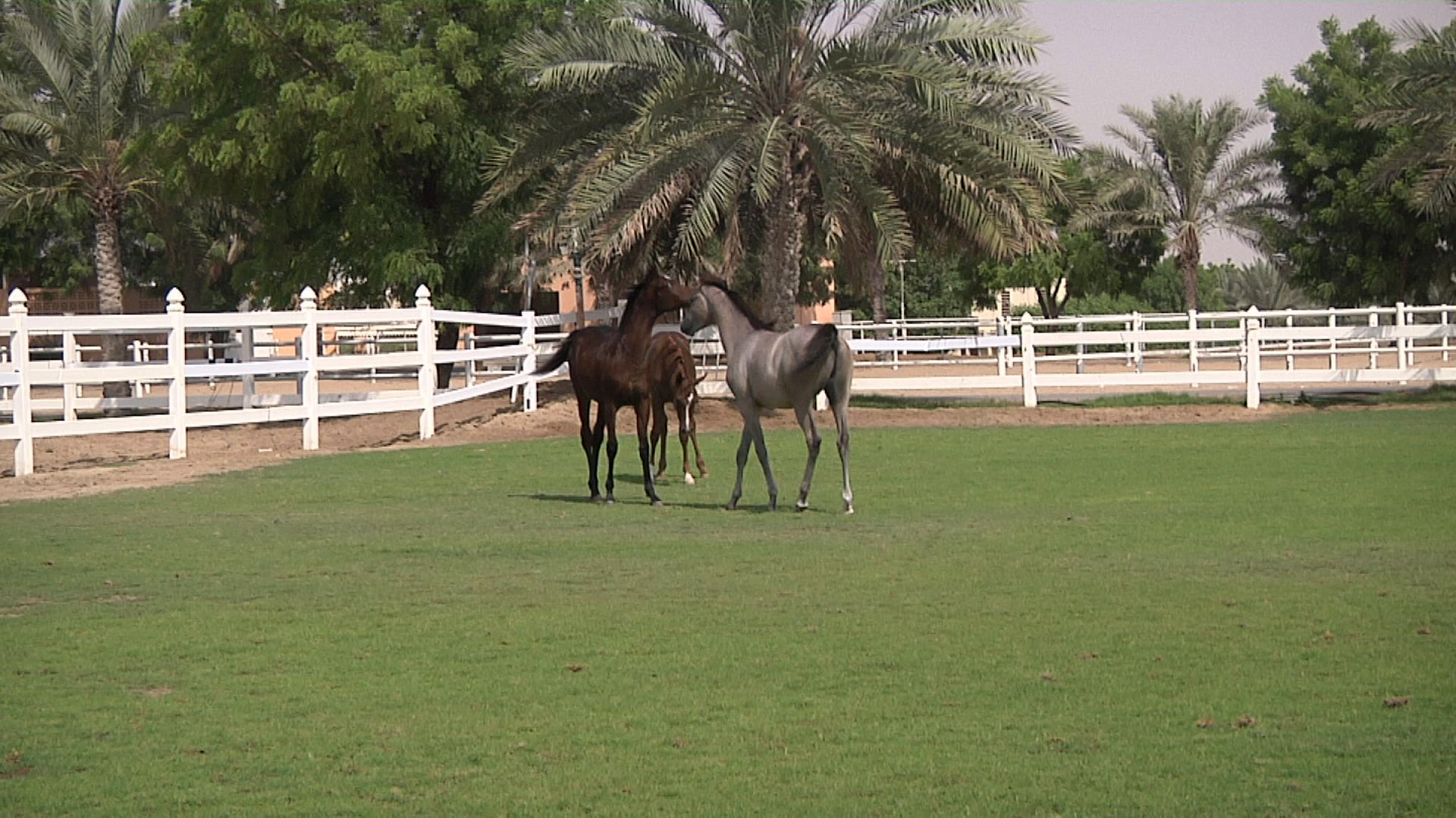 Video - Sharja2014_QasbaWasser Sharjah Equestrian Center (Pferdezentrum)